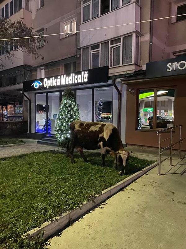 Vaca-la-iarba.jpg